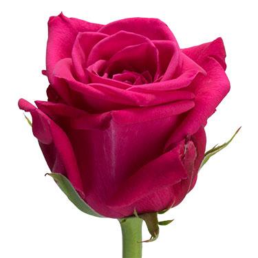 Роза Хот Шот